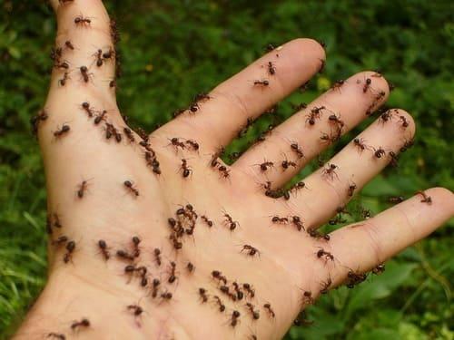 муравьи надоедают