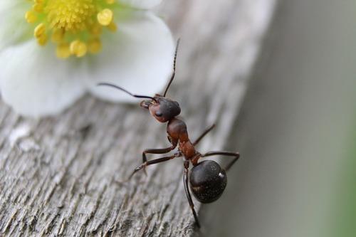муравей в доме