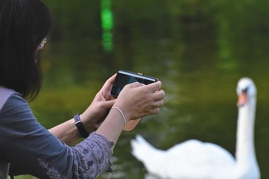 женщина-фотографирует-лебедя
