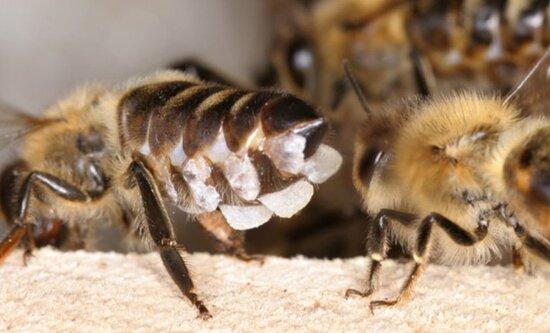 восковые-железы-у-молодых-пчел