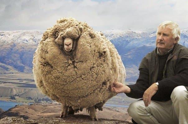 заросшая-овечка-фото